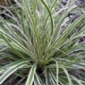 Carex oshimensis 'Everest' (Sedge)