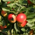 Malus domestica 'Discovery' (Apple)
