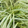 Carex oshimensis 'Evergold' (Sedge)
