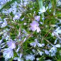 Phlox subulata 'Emerald Cushion Blue' (Alpine Phlox)