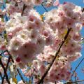 Prunus serrulata 'Pink Perfection' (Flowering Cherry)