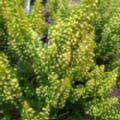 Erica arborea 'Estrella Gold' (Tree Heather)