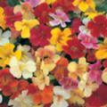 Mimulus 'Mixed Colours'