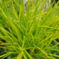 Carex elata 'Aurea' (Bowles' Golden Sedge)
