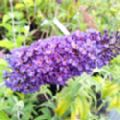 Buddleja davidii 'Empire Blue' (Butterfly Bush)