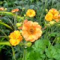 Geum 'Totally Tangerine' (Avens)