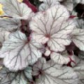 Heuchera 'Indian Summer Huckleberry' (Alum Root)