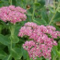 Sedum spectabile 'Autumn Joy' (Stonecrop)