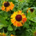 Helenium autumnale 'Short and Sassy' (Sneezeweed)