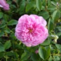 Rosa 'Harlow Carr' (English Rose)