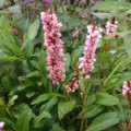 Persicaria affinis 'Donald Lowndes' (Knotweed)