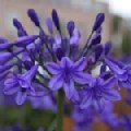 Agapanthus 'Peter Pan' (African Lily)