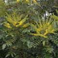 Mahonia x media 'Charity' (Oregon Grape)