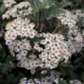 Olearia macrodonta (Australian Holly/New Zealand Holly)