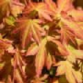 Acer palmatum 'Orange Dream' (Japanese Maple)