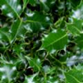 Ilex aquifolium (Common Holly)