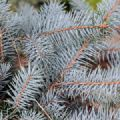 Picea pungens 'Edith' (Colorado Spruce)