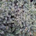 Juniperus squamata 'Blue Star' (Flaky Juniper)