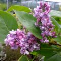 Syringa vulgaris 'Katherine Havemeyer' (Lilac)