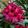 Rhododendron 'Marie Fortier'