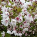 Prunus incisa 'Kojo-no-mai' (Fuji Cherry)