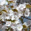 Prunus 'Sunset Boulevard' (Flowering Cherry)