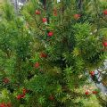 Taxus baccata (English Yew)