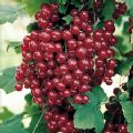 Ribes rubrum 'Red Lake' (Redcurrant)