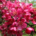 Malus 'Prairie Fire' (Crab Apple)