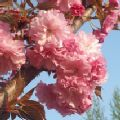 Prunus 'Fugenzo' (Flowering Cherry)