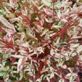 Nandina domestica 'Twilight' (Heavenly Bamboo)