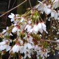 Prunus 'Snow Showers' (Weeping Cherry)
