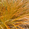 Carex testacea (Orange New Zealand Sedge)