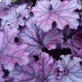 Heuchera 'Forever Purple' (Alum Root)