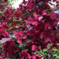 Malus 'Royalty' (Crab Apple)