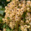 Ribes rubrum 'White Versailles' (White Currant)